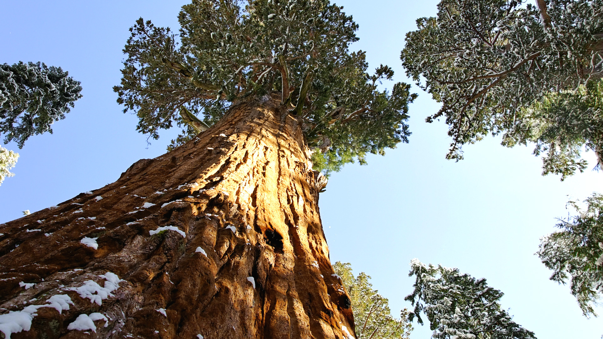 the wonder of the giant sequoias essay  · main blog 10 most magnificent trees in the world giant sequoias: you have to wonder how anyone managed to drive into the arbre du ténér.