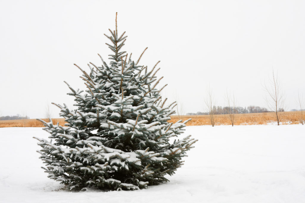 A beautifully shaped Blue Spruce tree covered with snow in a field.