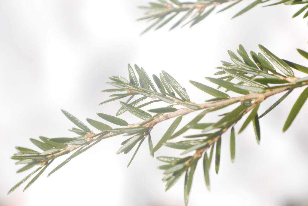 Canadian Hemlock (Tsuga canadensis)Branches, defocused snowy background