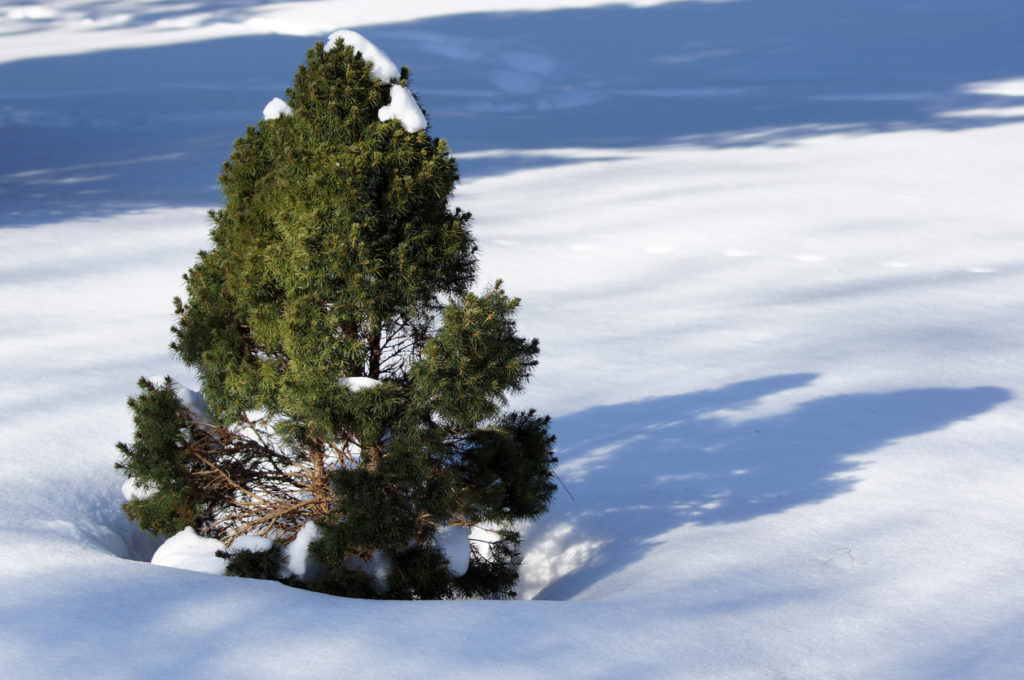 ornamental white spruce at winter on the snow.