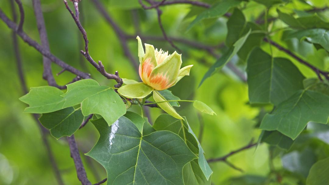 Tuliptree bloom