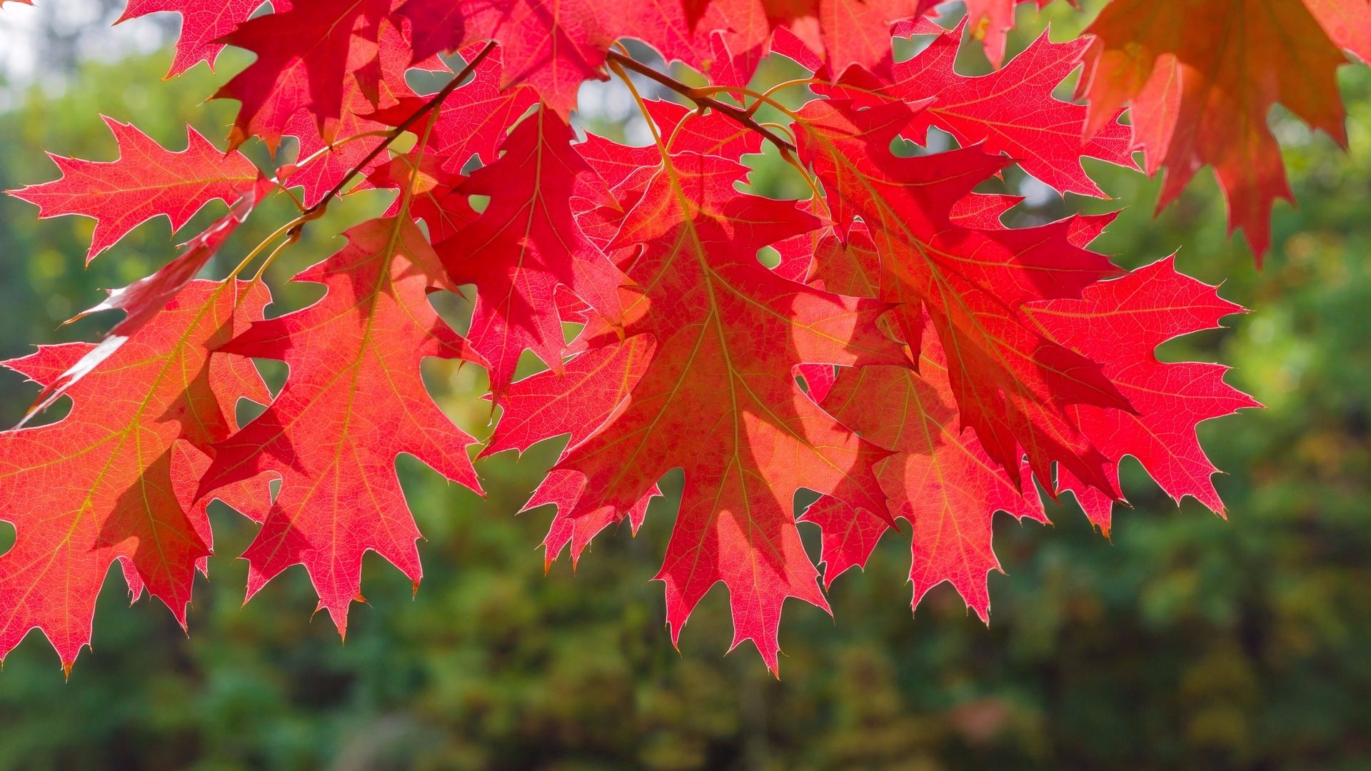Northern Red Oak ~ Northern red oak a tree of ease arbor day