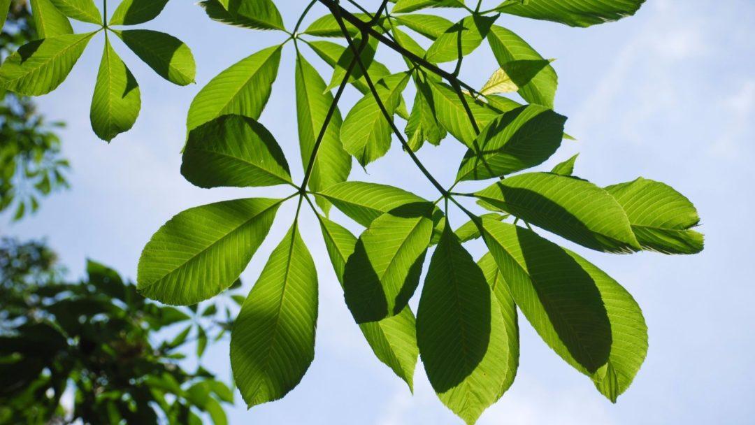 Yellow buckeye leaves