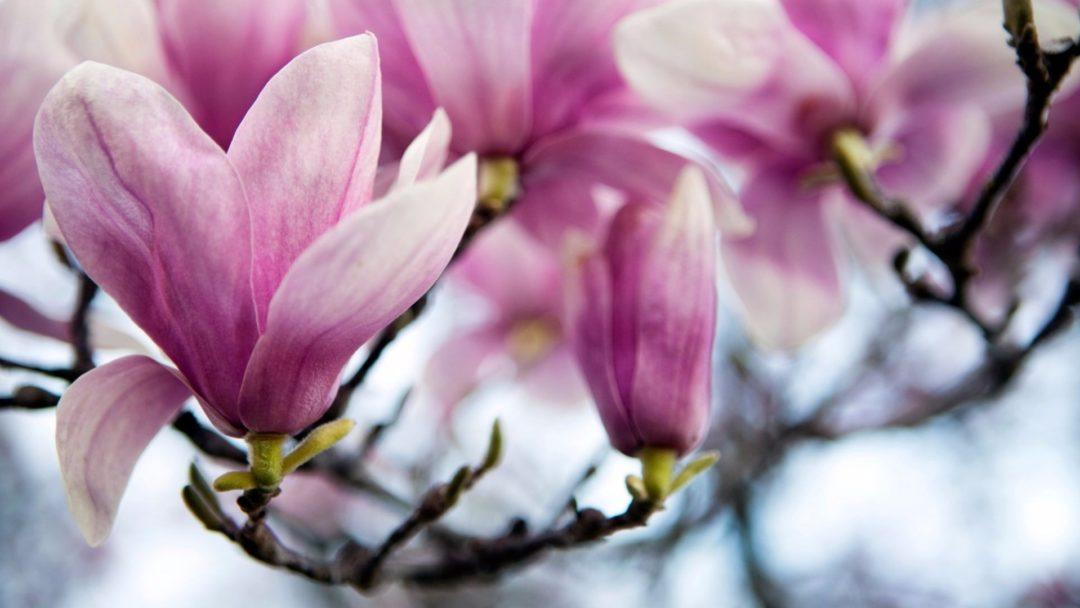 Saucer Magnolia A Springtime Spectacular Arbor Day Blog