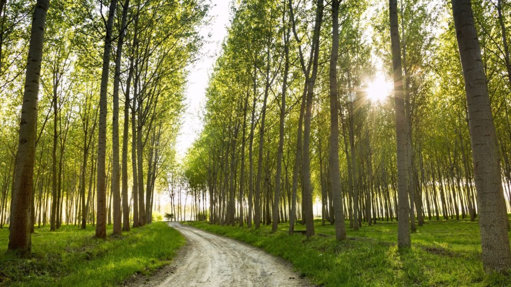 12 Fast Growing Shade Trees Arbor Day Blog