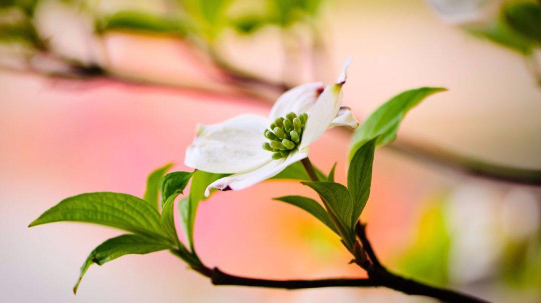Flowering Dogwood: Spring Splendor in the Forest | Arbor Day