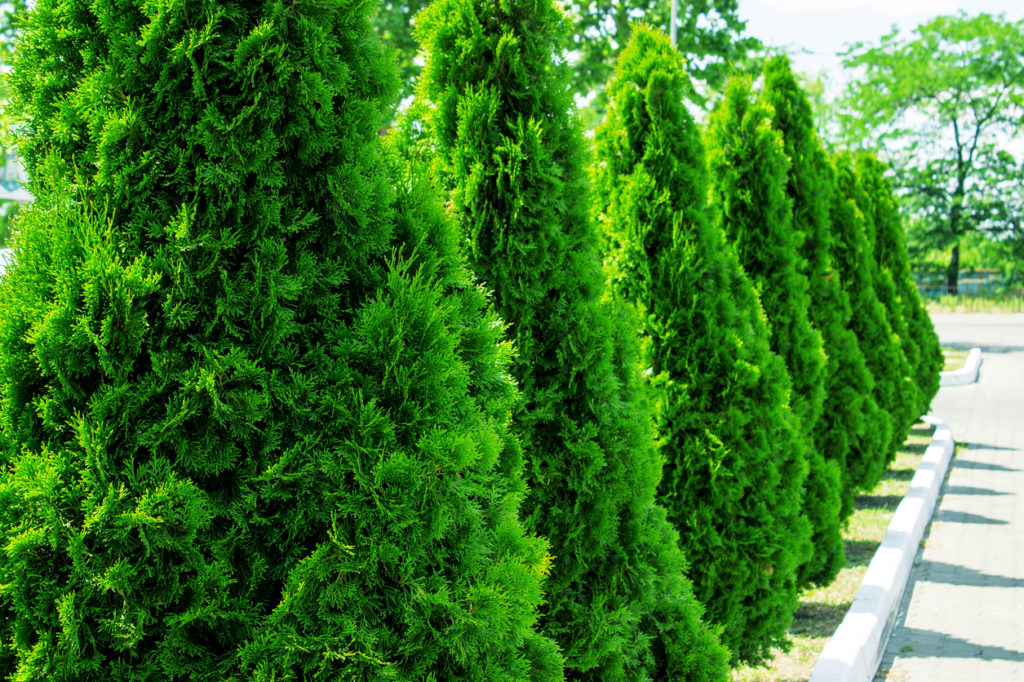 Top 5 Evergreens Sold Through The Arbor Day Tree Nursery