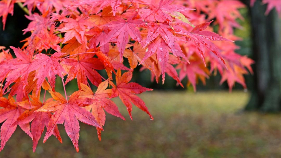 Japanese Red Maple Archives | Arbor Day Blog