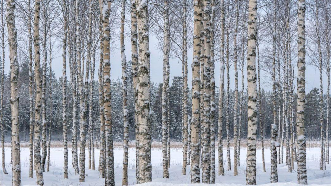 paper birch douglasfir an odd relationship arbor day blog