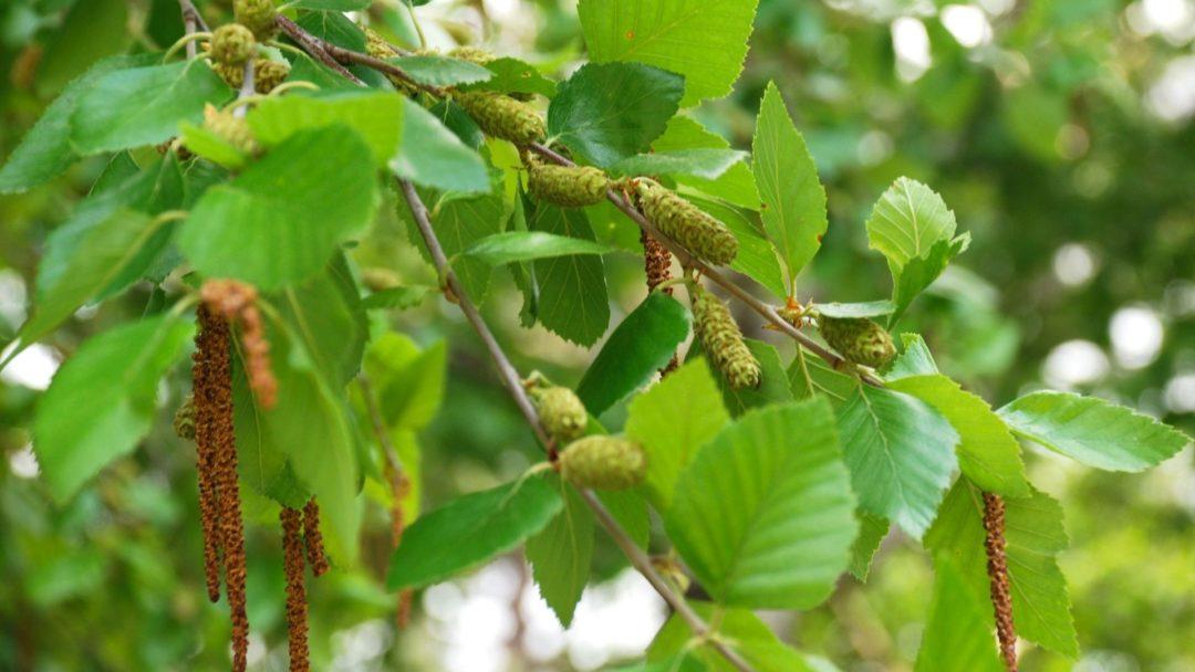 25 Seeds of Betula Nigra River Birch Tree