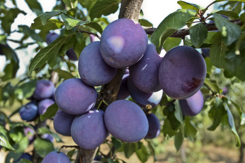 The Best Low Maintenance Fruit Trees Arbor Day Blog