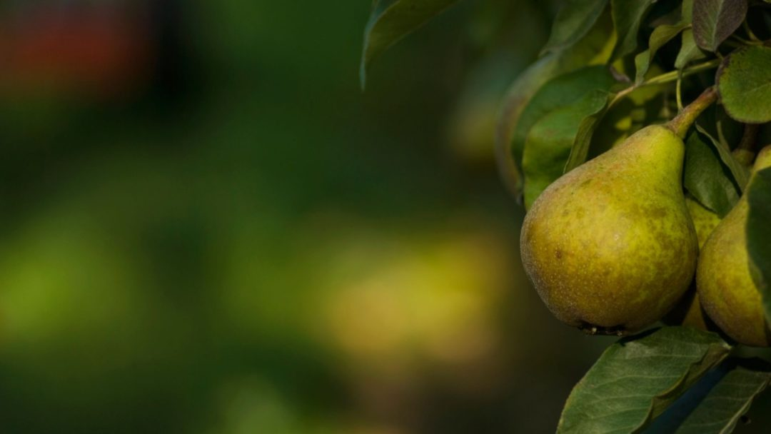 The Best Low Maintenance Fruit Trees