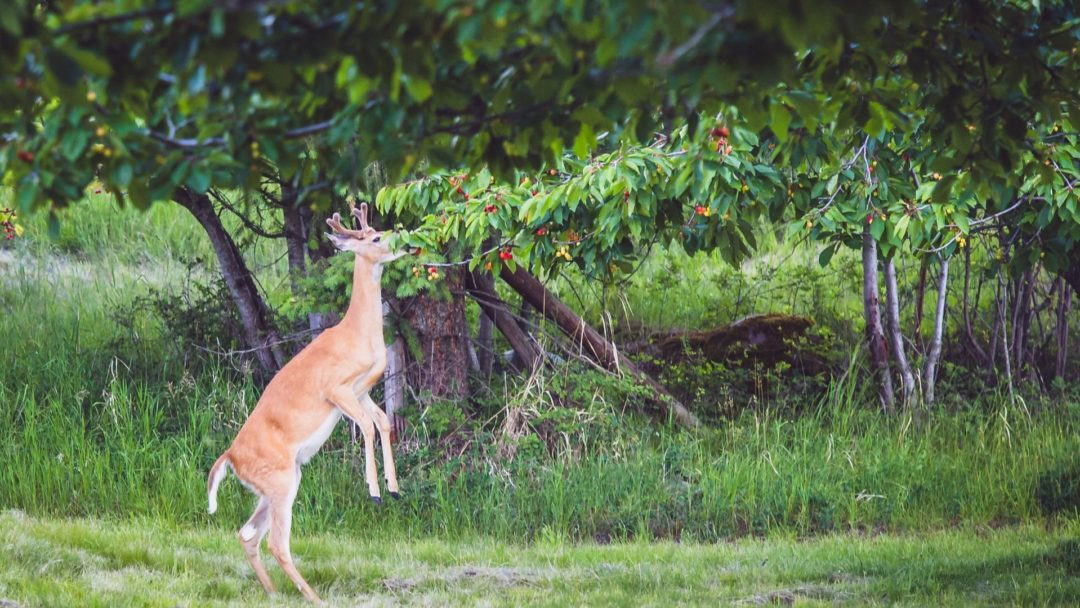 Keep Deer Away With These Trees And Shrubs Arbor Day Blog