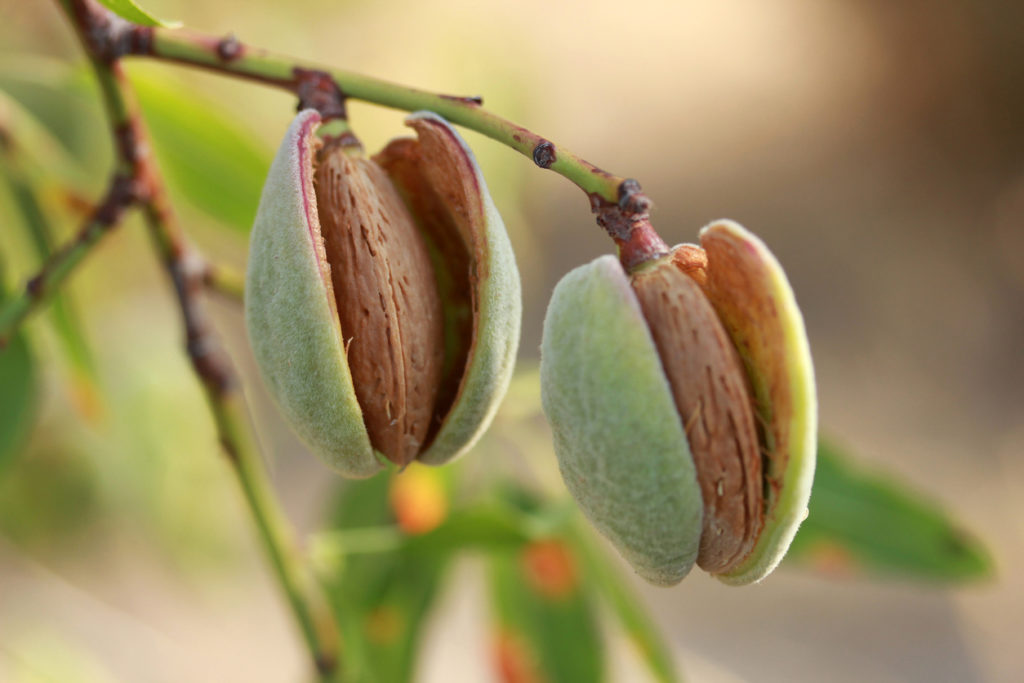 4 Fast Growing Nut Trees Arbor Day Blog