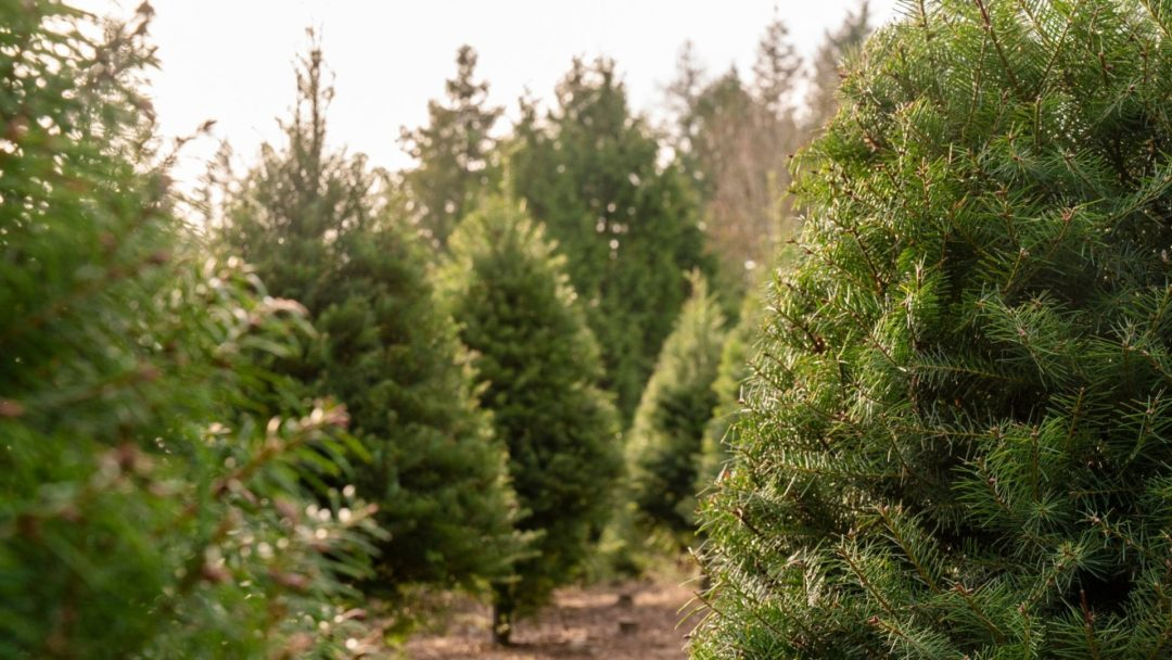 8 Sustainable Ways To Recycle Your Christmas Tree Arbor Day Blog