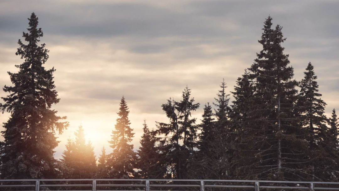 4 Fast Growing Evergreen Trees Arbor Day Blog