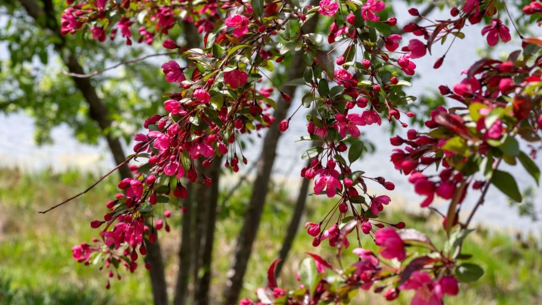 7 Small Flowering Trees For Small Spaces Arbor Day Blog