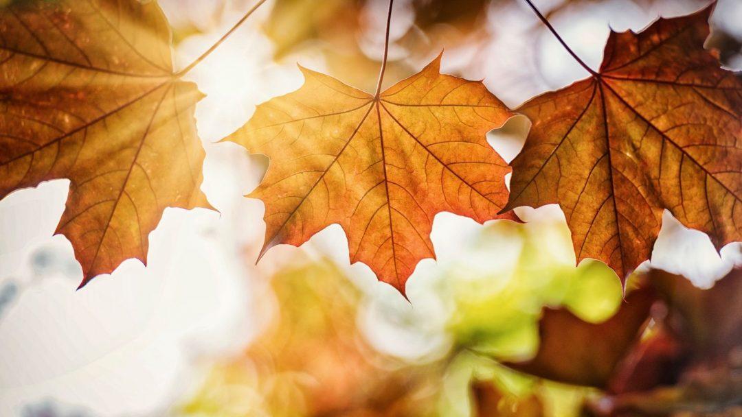 Sugar maple leaves in autumn